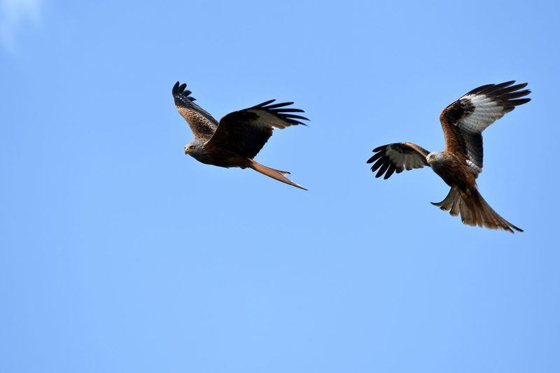 Redkites Red Kite In Flight Red Kite Bird Flying Nature Nature_collection Nature Photography Nature On Your Doorstep Naturelovers