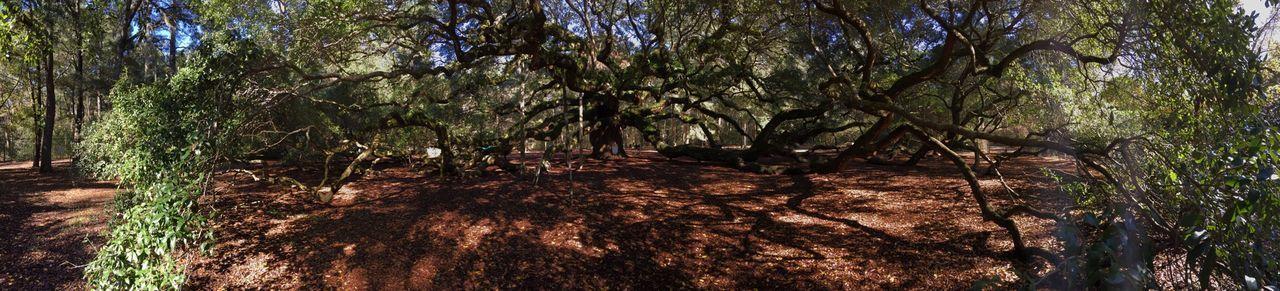 Angel Oak Tree on John's Island, South Carolina. It's unreal! Tree Nature