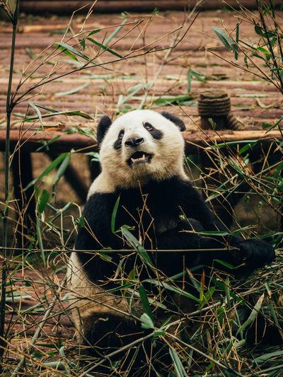 Animal Themes Animals In The Wild Chengdu China Day Front View Giant Panda Mammal Nature No People One Animal Outdoors Panda - Animal
