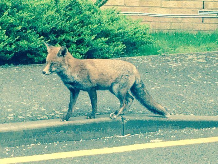 Fox in town EyeEm Selects