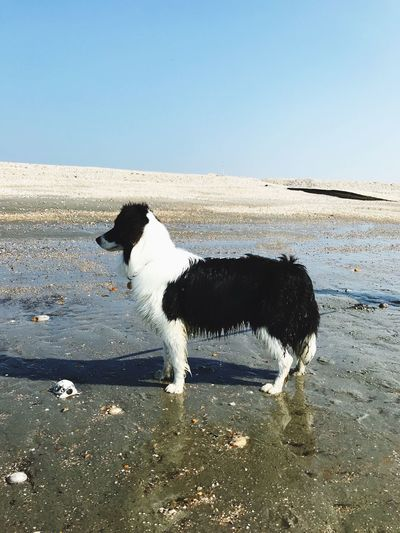 Dog standing proud on the sand. Silhouette Shadow Sunlight Side View Focus On Foreground Beauty In Nature Long Haired Dog Pedigree Border Collie Sand vanishing point Copy Space Pet Owner Animal Themes Pets Animal Domestic Domestic Animals Vertebrate One Animal Dog Canine Beach Sky Clear Sky Land Nature No People Day Outdoors