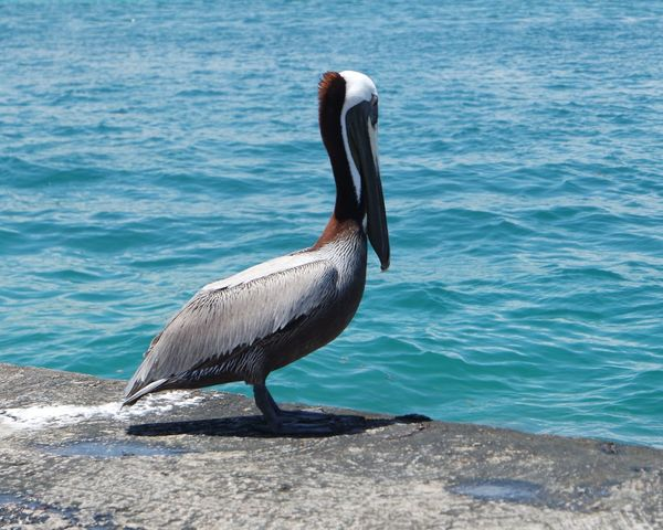 Pelicans Watching The Pelicans Bal Harbour Miami FL Usa 🇺🇸☀️ Check This Out