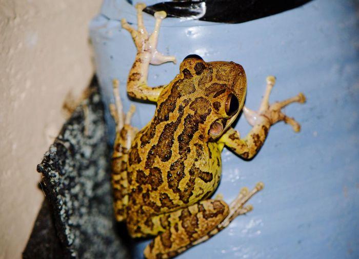 Cubanfrog Frog Animal Macro EyeEm Wildlife Nature Animal Themes One Animal Skin