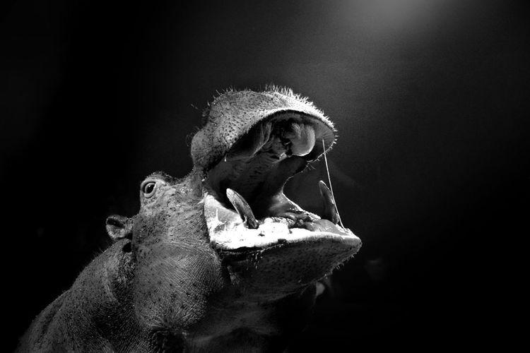 Hippopotamus on black background