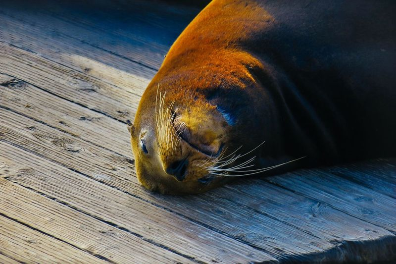 Seal One Animal Animal Themes Wood - Material Mammal High Angle View Seal Fine Art Photography EyeEm Best Shots This Week On Eyeem Animal Fine Art Sea Life Nature Animal Wildlife Beauty In Nature Animals In The Wild No People Close-up Indoors  Day EyeEmNewHere The Great Outdoors - 2017 EyeEm Awards Neighborhood Map Live For The Story Place Of Heart California Dreamin