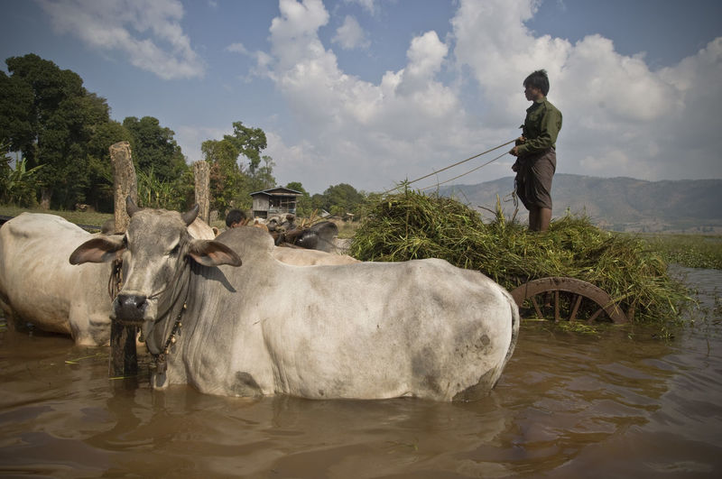 Been There. Buffalo Check This Out Farming Vehicles Water Buffalo Burma Cow Day Domestic Animals Farming Inle Lake Livestock Mammal Men Myanmar Nature One Person Outdoors People Standing Travel Destinations Typic Water