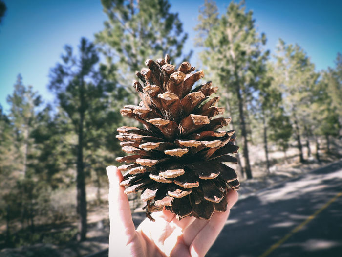 Hands Hanging Out Nature Pine Trees Beauty In Nature Close-up Day Hand Holding Human Body Part Human Hand Lifestyles Nature One Person Personal Perspective Pine Cone Pine Tree Pinetrees Plant Real People Tree Unrecognizable Person Vintage Vintage Photo