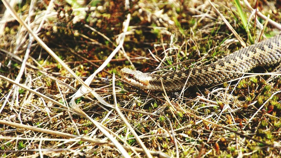 High angle view of viper snake on dry grass