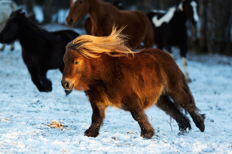 Horses walking on snow field
