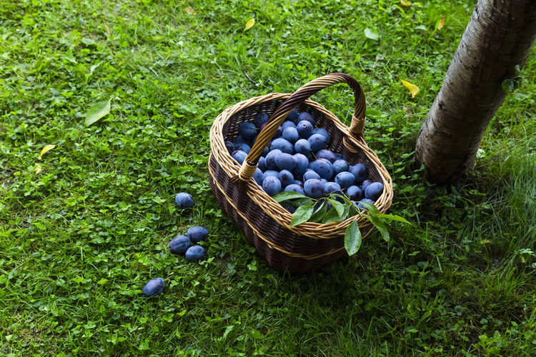 Freshly harvested delicious and juicy plums in a brown basket resting on the grass besides a plum tree in an orchard Autumn Grass Tree Trunk Wicker Basket Blue Container Food And Drink Freshness Fruit Fruit Tree Fruits Grass Harvest Harvest Time Harvesting Healthy Eating No People Nobody Orchard Organic Outdoors Plum Ripe Wellbeing