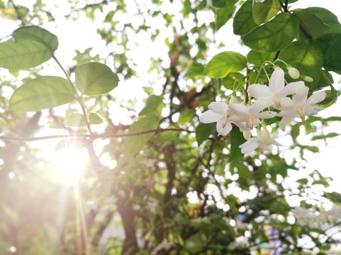 Flower White Color Branch Nature Tree Blossom Day Growth Beauty In Nature Leaf Outdoors Freshness Plant Fragility Close-up No People Flower Head Sunset Evening Light Sunlight Wild Water Plum EyeEmNewHere Thailand Bangkok