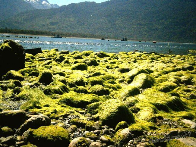 Musgos Verde Naturaleza Rocas Mar Hornopiren Sur De Chile