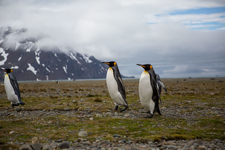 Penguins Perching On Field Against Snowcapped Mountains