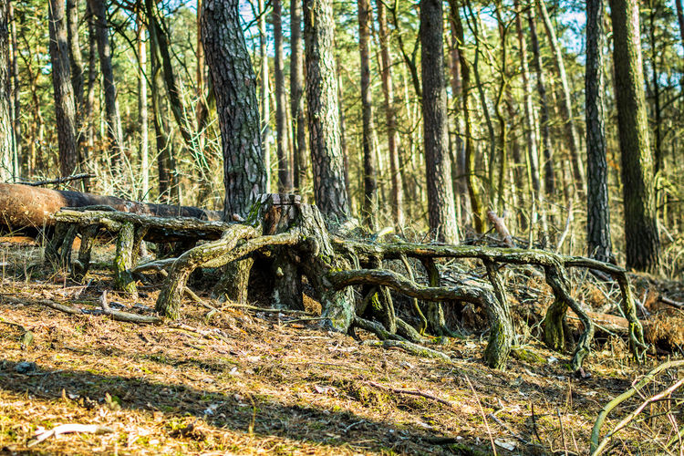 Tree Forest Plant Land Tree Trunk Trunk Tranquility Nature WoodLand Day No People Beauty In Nature Tranquil Scene Growth Non-urban Scene Scenics - Nature Environment Outdoors Falling Landscape Wood Roots