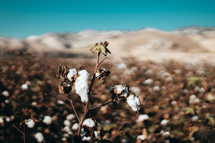 Agricultural Field Agriculture Cotton Plant Cotton EyeEm Selects Focus On Foreground Plant Beauty In Nature Land Nature Flower Day No People Flowering Plant Close-up Outdoors Field Sky Environment