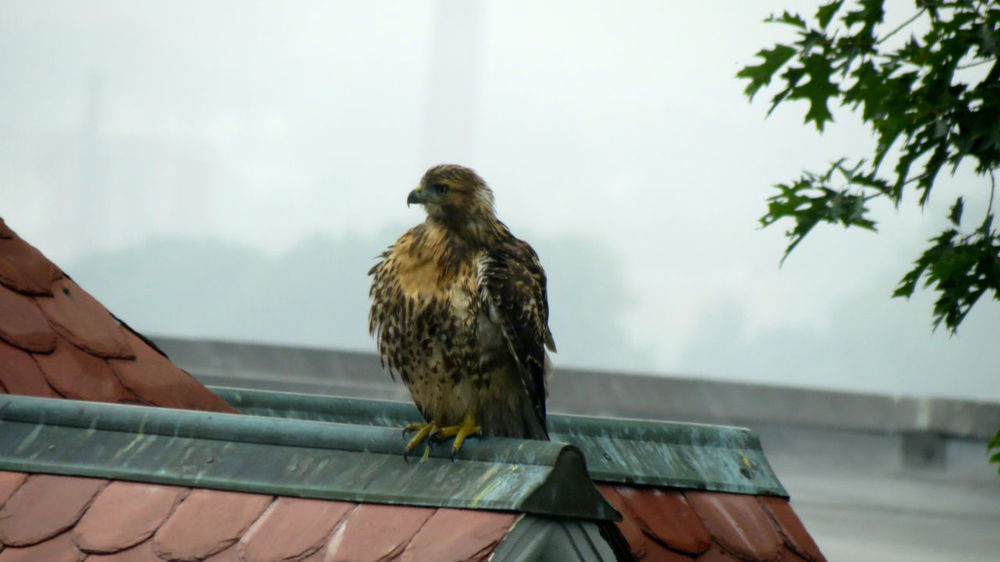 Red Tailed Hawk Animal Wildlife Bird Bird Of Prey Drenched Nature Perched Rain Raptor Red Tailed Hawk