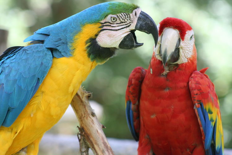 Close-up of two macaws