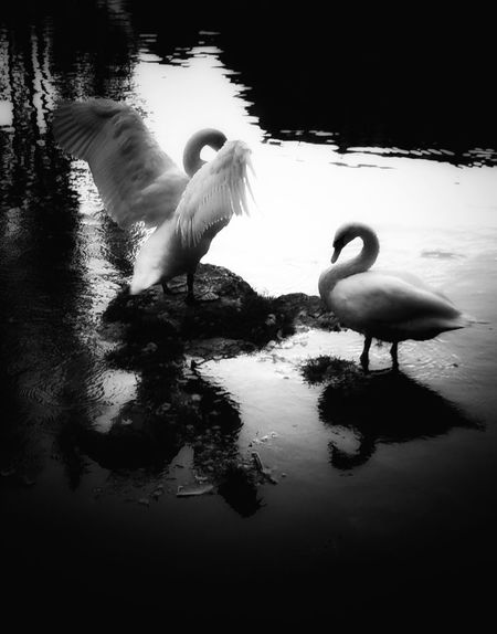 Animals In The Wild Bird Reflection Animal Themes Lake One Animal Animal Wildlife Water Swan Water Bird Swimming Flamingo Nature Day No People Outdoors Blackandwhite Photography Monochrome Photography Monochrome The Week On EyeEm