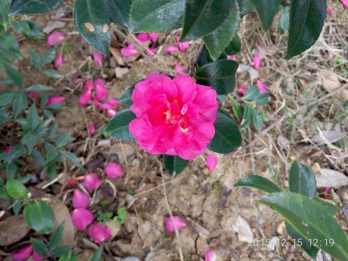 Enjoying Life Flower Rosa Chinensis