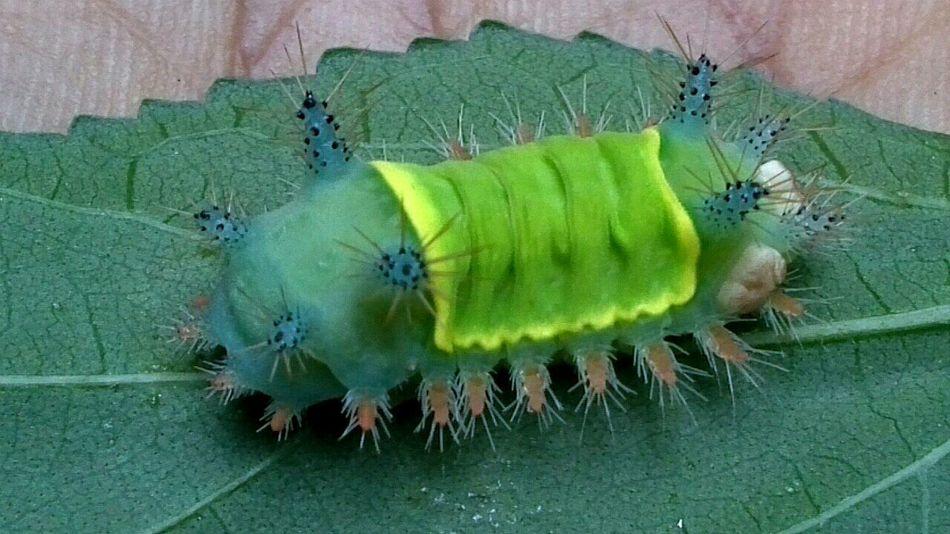 Repost Macroclique Macro Photography Macro Nature Macro Beauty Catterpillar Green Caterpillar