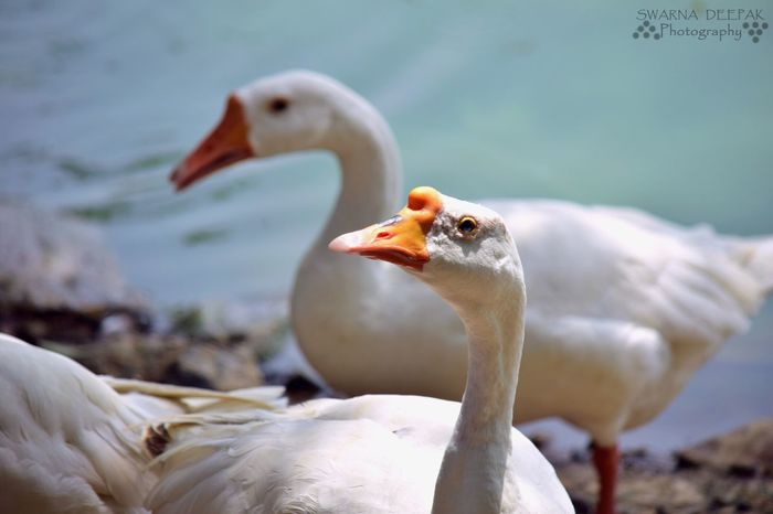 Swarna Deepak Photography Swans ❤ Near The Lake Out In The Sun Soaking Up The Sun Walking Around DSLR Photography