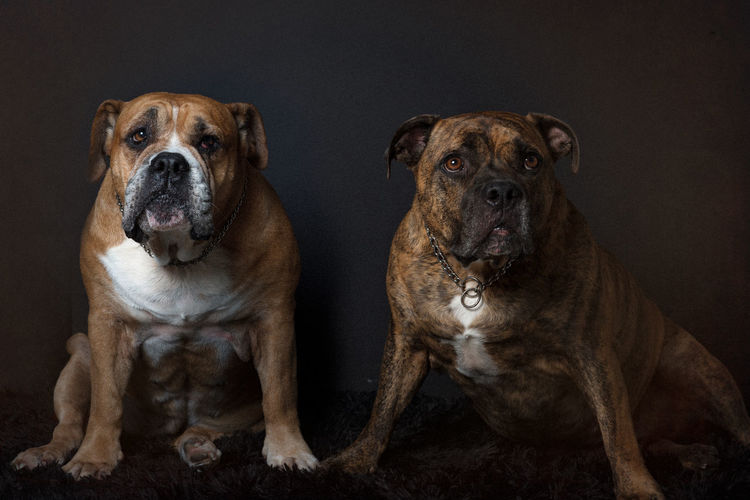 Best Friends Animal Themes Australian Bulldog Bulldog Close-up Dog Domestic Animals Indoors  Looking At Camera Mammal Pets Portrait Staffy Staffylovers Togetherness Two Animals