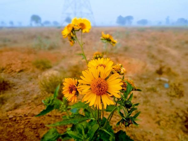 Sunflower, Flower Nature Plant Yellow Flower Head No People Nature Reserve Outdoors Day Fragility Close-up Beauty In Nature Freshness Outdoor Pursuit