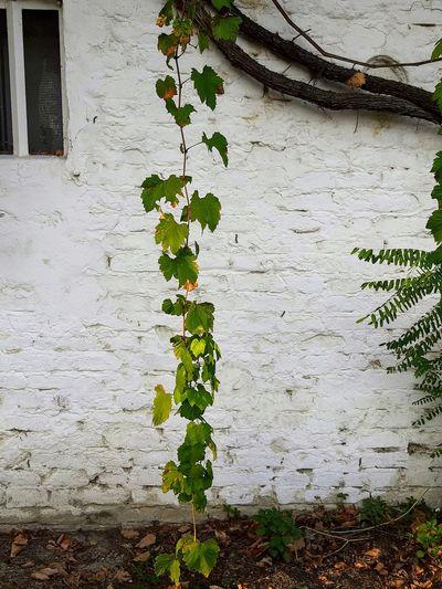 Flower Ivy Leaf