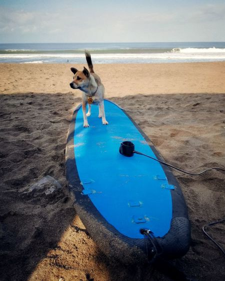 In position! Dog Pets Beach Water Sea Domestic Animals Sand Animal Outdoors Blue Animal Themes Summer No People Swimming Day Mammal Portrait Nature Surfer Surfer Dude Bali Surfing Pacific Ocean Nature Sky