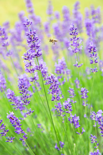 Animal Animal Themes Animal Wildlife Animals In The Wild Beauty In Nature Bee Blurred Background Close-up Flower Flower Head Flowerbed Flowering Plant Fragility Freshness Growth Insect Invertebrate Lavender Nature No People One Animal Plant Pollination Purple Vulnerability