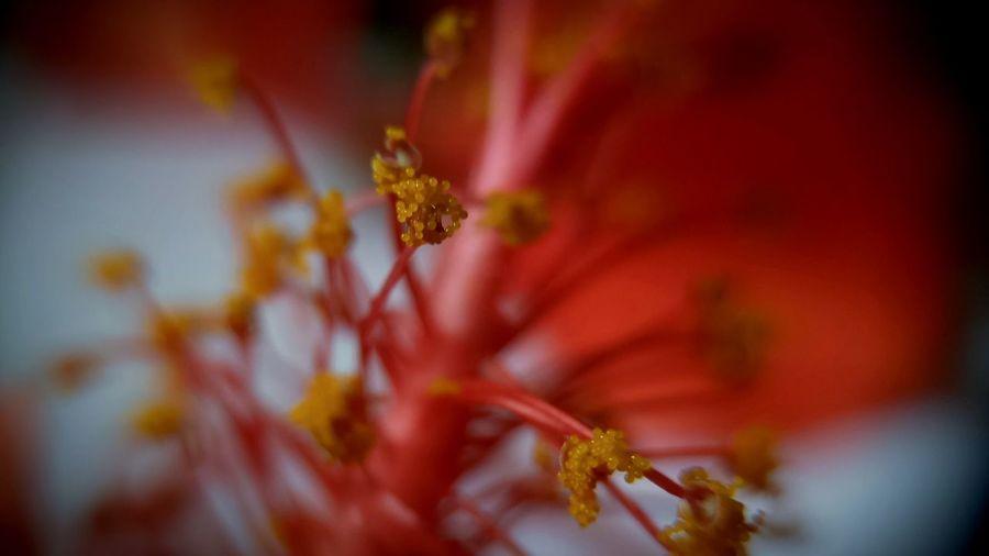 Flower Red Mobilephotography ZenfoneZoom Aukeymacrolens First Eyeem Photoin India