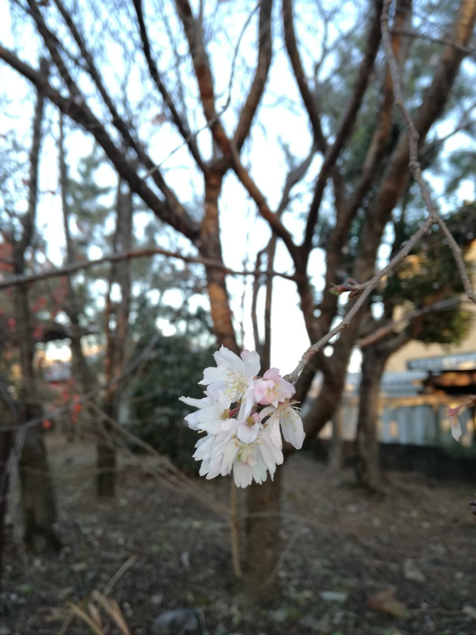 flower, tree, blossom, white color, fragility, nature, focus on foreground, springtime, growth, branch, beauty in nature, flower head, petal, day, no people, close-up, freshness, outdoors