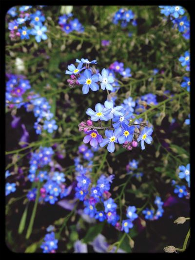 Myosotis Macro Flower Eyem Nature