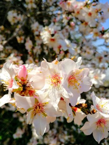 Almond Tree Almond Blossom Nature Flower Spring Simple Beauty Sunny Day No People Beauty In Nature Spring Blossom Spring Flowers Spring Bloom Tree Everyday Joy Happiness Outdoors Beauty In Nature Growth Springtime Close-up Plant Petal Freshness