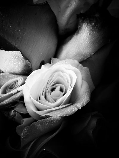 Flower Black And White Roses Water Droplets