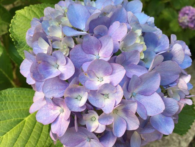 Hydrangea Flower Purple Beautiful Rainy Season June 2017 6月 紫陽花 Noeffect The Scenery That Tom Saw Tomの見た世界 IPhoneography Japan