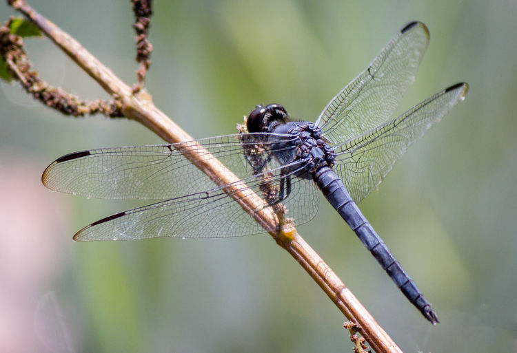 Dragon Fly Close Up Animal Wing Close-up Day Dragonfly Focus On Foreground Insect Nature No People Outdoors Plant Plant Part Plant Stem Twig