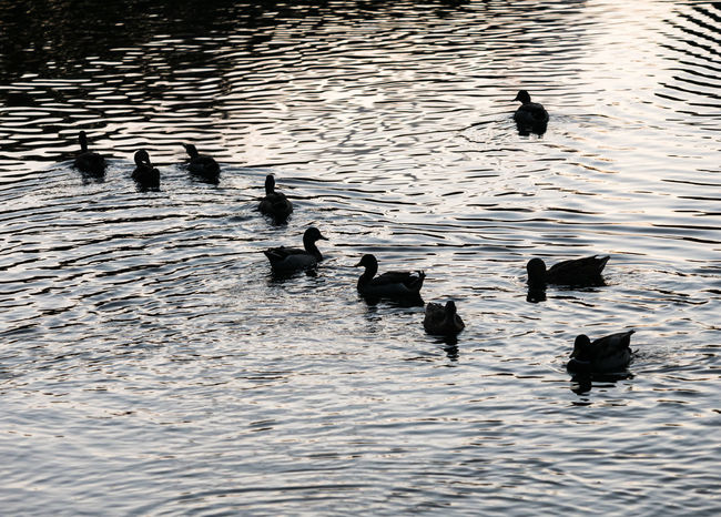 Silhouette of ducks in water. Florida Mallard Animal Themes Animal Wildlife Animals In The Wild Beauty In Nature Bird Black Color Coot Day Duck Floating In Water Group Of Ducks Lake Nature No People Outdoors Reflection Rippled Swimming Team Togetherness Water Water Bird Waterfowl Waterfront EyeEmNewHere