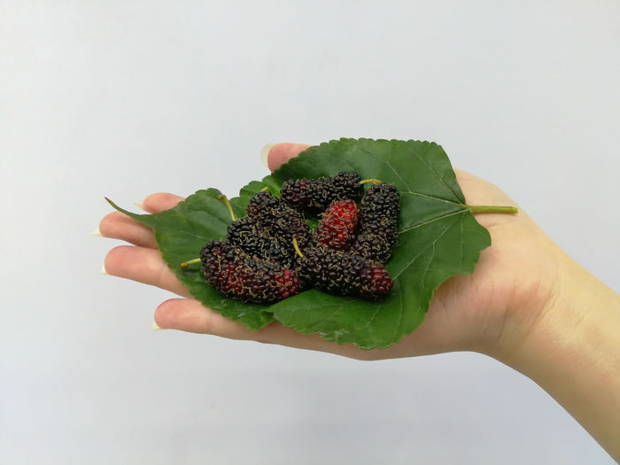 Mulberry Eat Nature Eating Ripe Floral Fresh Fresh Food Background Vegetarian Macro Sour Colorful Mulberry Food And Drink Cook  Food Summer Human Hand Fruit Leaf Mid Adult Hand Berry Fruit Blackberry - Fruit Rowanberry Blackberry Strawberry Juicy Berry Blueberry
