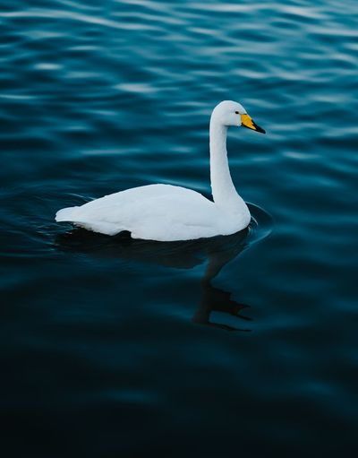 A swan of