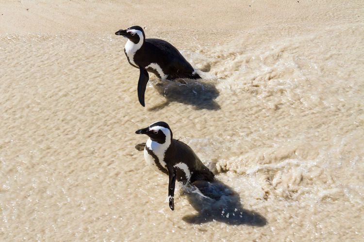 High angle view of penguins on sand at beach