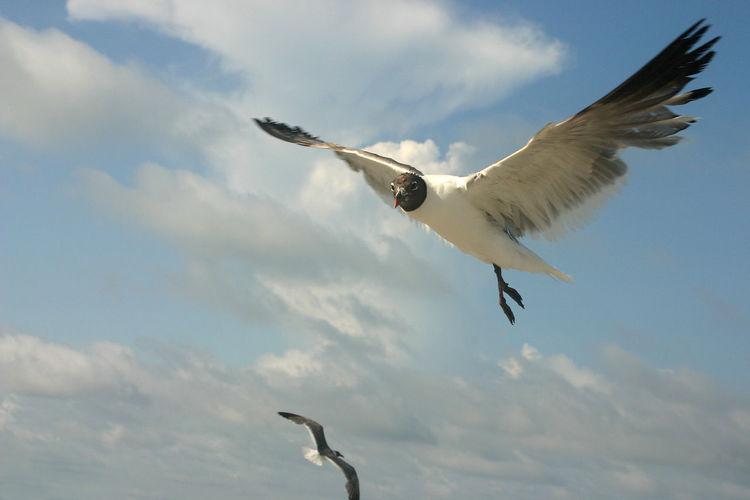 Animal Themes Beauty In Nature Bird Cloud Flying Mid-air Sea Bird Seagull Sky Spread Wings Wildlife