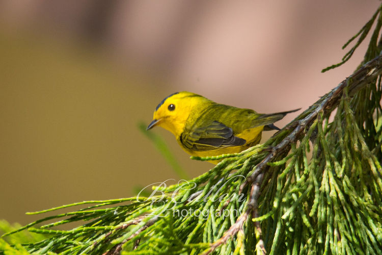 Wilson's Warbler Perched on a Cypress Tree #2 Cypress Songbird  Tree Warbler Animal Animal Themes Animal Wildlife Animals In The Wild Beak Bird Branch Close-up Cute Day Focus On Foreground Green Color Nature No People One Animal Outdoors Perching Selective Focus Springtime Wilsons Warbler Yellow