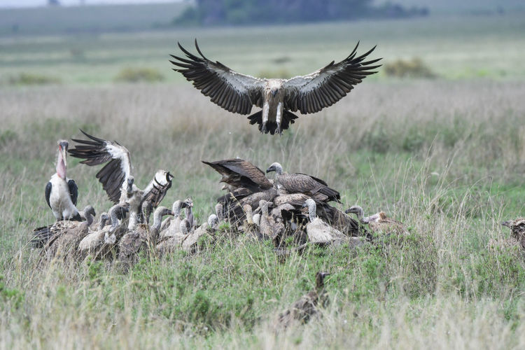 Group of vultures on grassy land