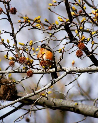 Robin One Animal Branch Outdoors Tree Beauty In Nature Animal Wildlife Bird Close-up Robinbird