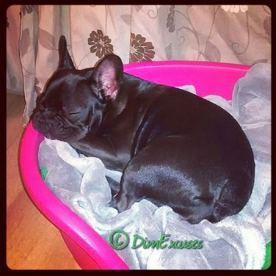 Seen it all and done it all. AdventuresOfMolly Frenchbulldog