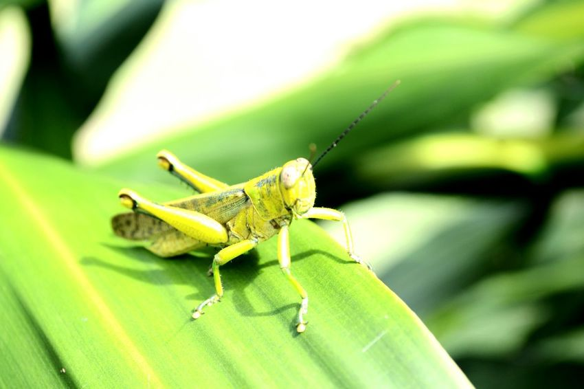 Simple .. Hello World Malaysia Belalang Zoology