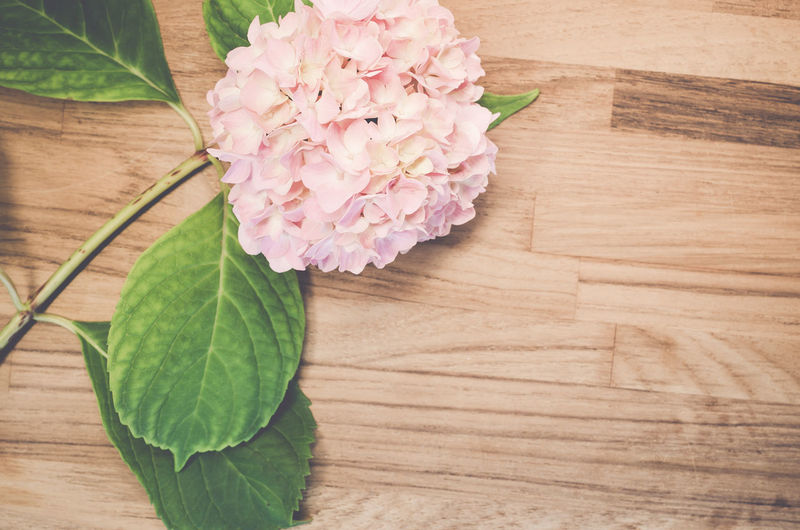 High angle view of pink hydrangea on table