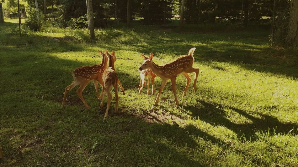43 Golden Moments Fawns Deer Deer Park Frolicking Baby Animals Baby Deer Wildlife Nature Siblings Playing Wildlife Photography