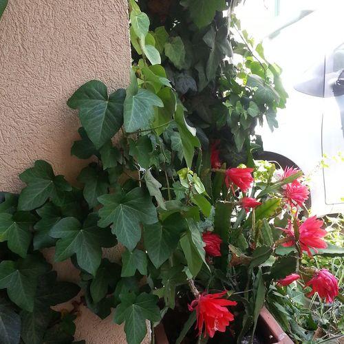 Плющ и кактусы Венгрия цветок  растение дом цветы🌸🌼🌻💐🌾🌿 кактусы🌵 плющ двор Leaf Red Close-up Plant Green Color